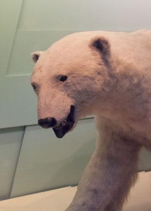Fur-polarbear
